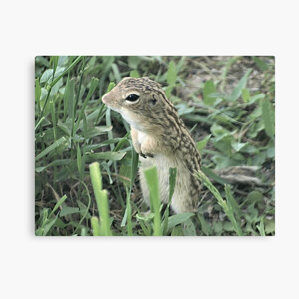 13-Lined Ground Squirrel Canvas Print