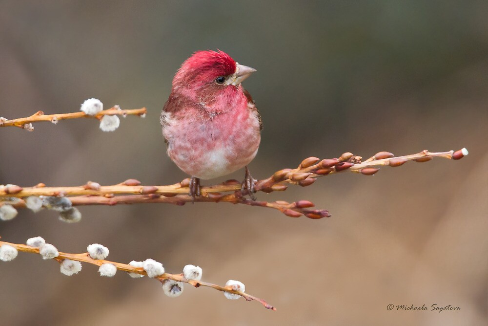 Purple Finch on pussywillow by PixlPixi