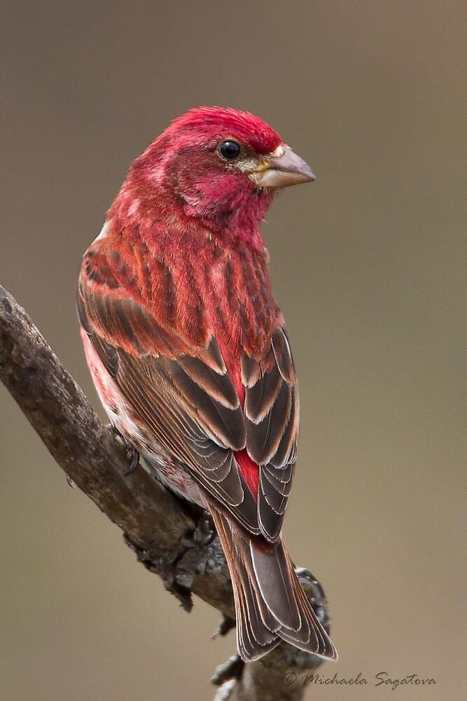 Purple Finch male by PixlPixi