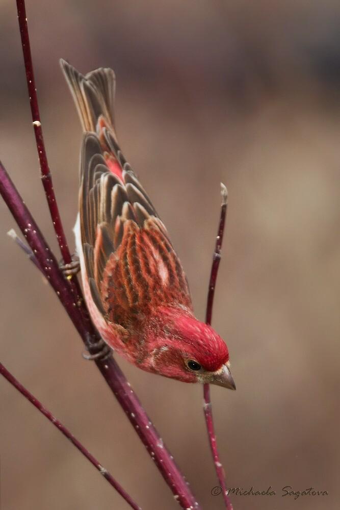 Purple Finch on red dogwood by PixlPixi
