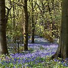 Shaw Wood Bluebells by LazloWoodbine