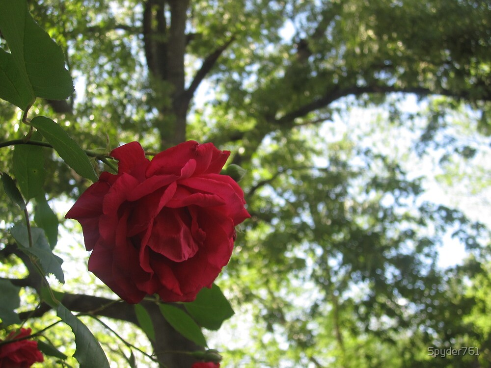 Red Rose of the Forest by Spyder761