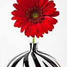 Red Mum In Striped Vase by Garry Gay