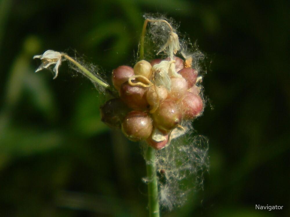 Wild Garlic Bulb, Wild Onion Bulb, Crow Garlic by Navigator