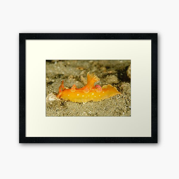 Nudibranch - Plocamorpherus imperialis Framed Art Print