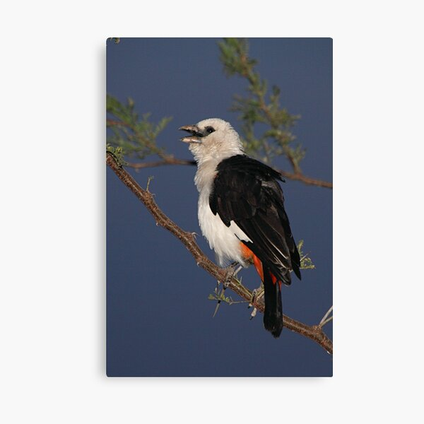 White-headed Buffalo-weaver, Tanzania  Canvas Print