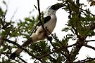 Van Decken's Hornbill, Serengeti, Tanzania  by Carole-Anne
