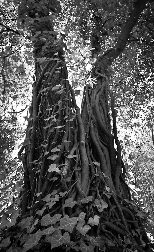 Vine on tree at Leg of Mutton Lake by Rob Tremelling