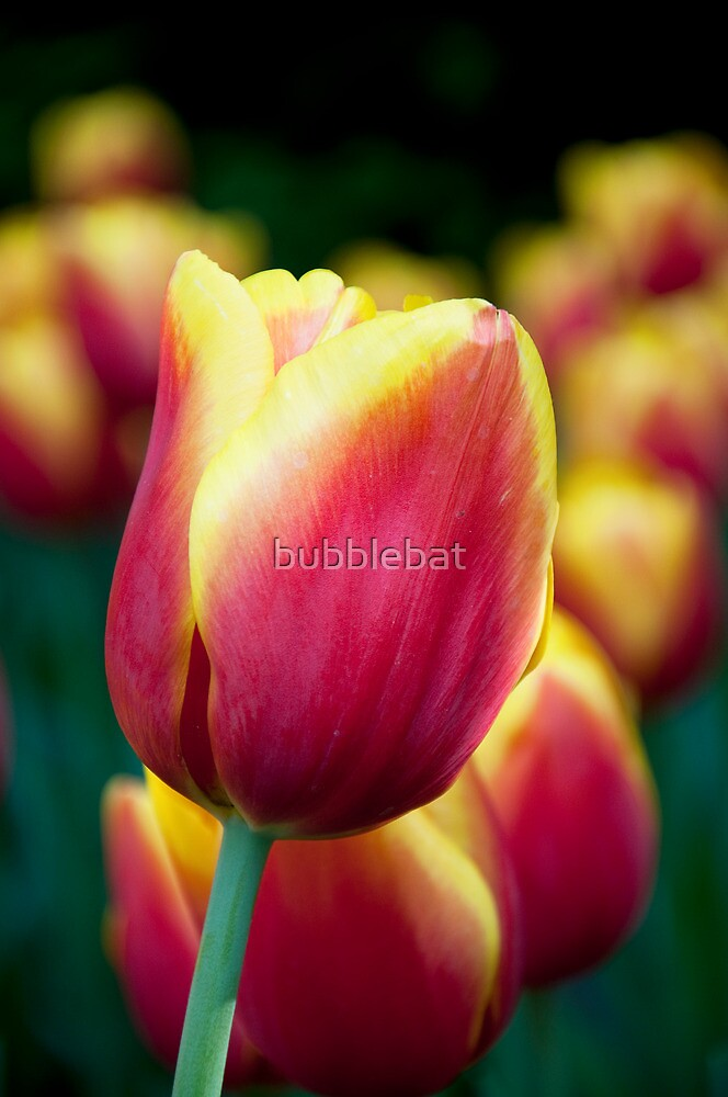 Red/Yellow Tulip by bubblebat