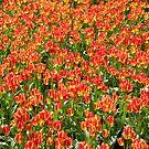 Lots of Tulips by bubblebat