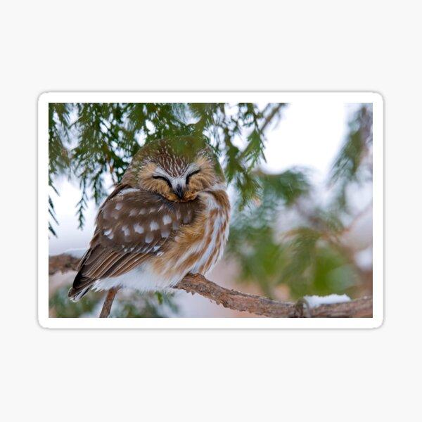 Sleeping Northern Saw Whet Owl - Ottawa, Ontario Sticker