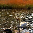 The white swan of Elterwater by embracelife