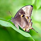 Wings - ulysses butterfly by Jenny Dean