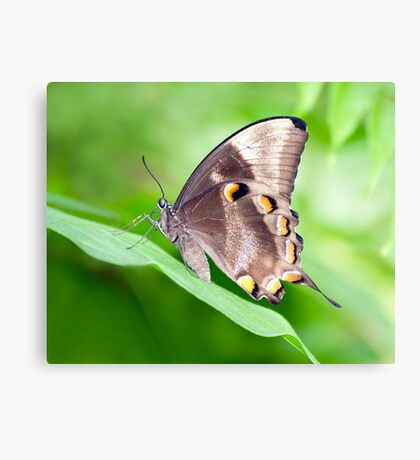 Wings - ulysses butterfly Canvas Print