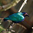 Purple Glossy Starling by John Gaffen
