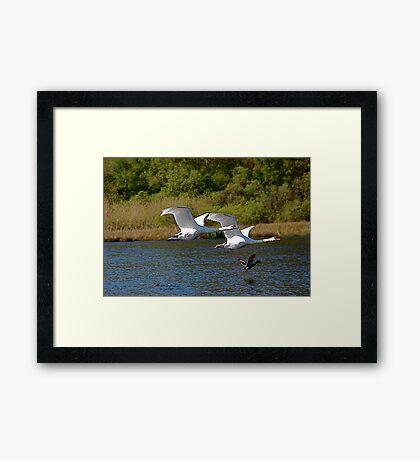 Swanflight 2 Framed Print