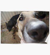 Dog Photograhy - Close up of Eyes Poster