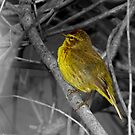 Palm Warbler on B&W by Robert Miesner