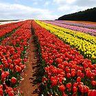 Table Cape Tulip Farm, Tasmania, Australia by Margaret  Hyde