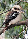 Kookaburra Sitting in a Tree by Vicki73