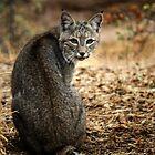 Bobcat kommt zu Besuch von Corri Gryting Gutzman