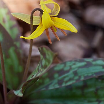Trout Lily   by GailDouglas