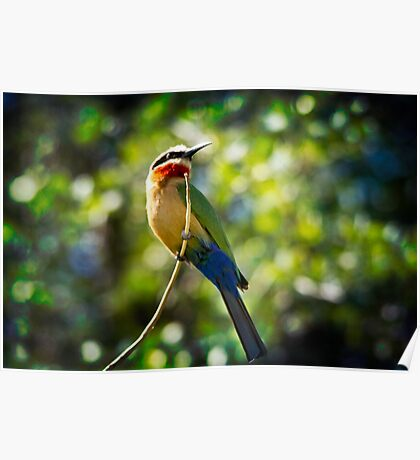 { bird of the rainbow } Poster