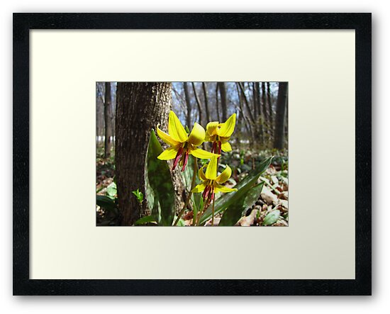 Trout Lily - Erythronium americanum by jules572