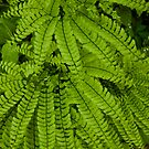 Maidenhair Ferns   by Karen Kaleta