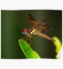 Eastern Amberwing Perched Poster