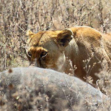 Lion with Buffalo Kill, Serengeti, Tanzania  by Carole-Anne