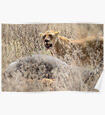 Lion with Buffalo Kill, Serengeti, Tanzania  Poster