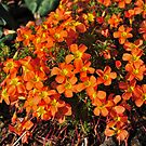 Brilliant Oxalis by Colin12