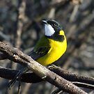 The Golden Whistler by Rick Playle