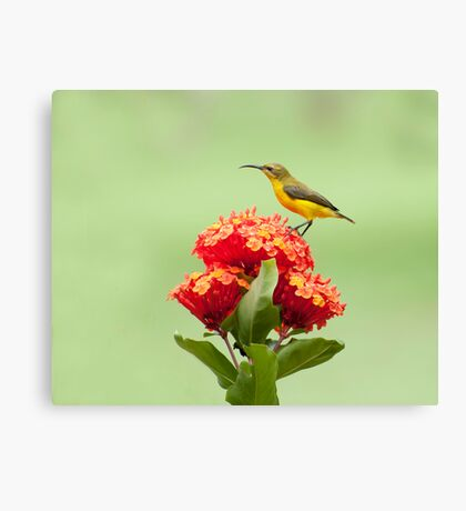 Another little sweety - sunbird in my Etty Bay garden. Canvas Print