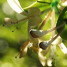 Honeysuckle by marens