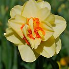 Daffodil Shimmers by Penny Smith