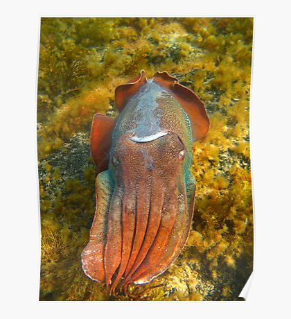 Giant Cuttlefish Blushing Poster