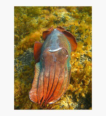 Giant Cuttlefish Blushing Photographic Print