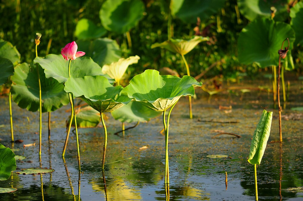 water lily by Les Pink