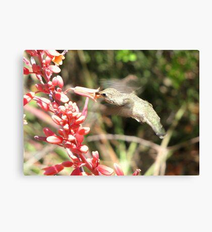Anna's Hummingbird ~ Nippin' the Nectar Canvas Print