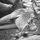 Kangaroo - Cudlee Creek Wildlife Park, South Australia by Dan Monceaux