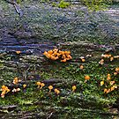 Fungus in the forest 10 by Ron Co