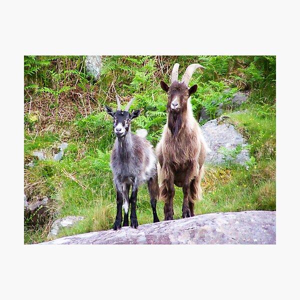 Mountain Goats on Carrauntoohil, Co Kerry, Ireland Photographic Print