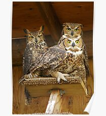 Three Great Horned Owls perched on platform Poster