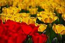 Tulips by John Schneider