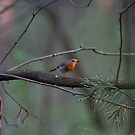 Robin by iulix