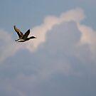 Wild duck by iulix