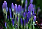 Spring Crocus by Elaine  Manley