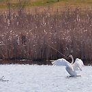 Trumpeter Swan by DigitallyStill
